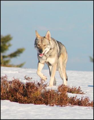 Nakoma, femelle chien-loup de saarloos de notre élevage